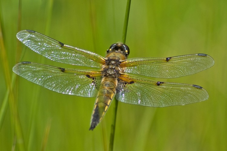"""<strong>Dragonfly</strong> (Accomplished) <a style = """"color: red"""" href = """"https://www.sneezingtrees.com/sites/welljudged/assessments/our-system-of-standards/"""">(What does this mean?)</a>"""
